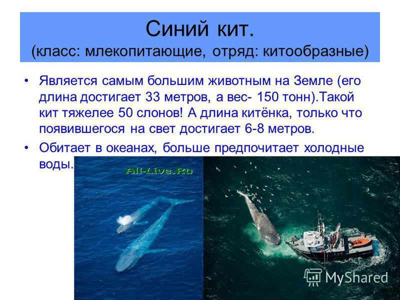 Синий кит. (класс: млекопитающие, отряд: китообразные) Является самым большим животным на Земле (его длина достигает 33 метров, а вес- 150 тонн).Такой кит тяжелее 50 слонов! А длина китёнка, только что появившегося на свет достигает 6-8 метров. Обита