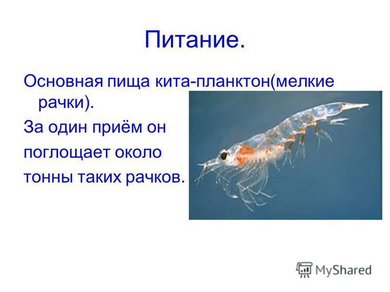 Питание. Основная пища кита-планктон(мелкие рачки). За один приём он поглощает около тонны таких рачков.