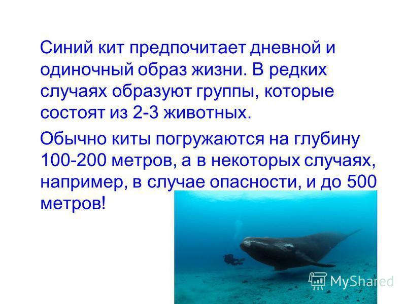 Синий кит предпочитает дневной и одиночный образ жизни. В редких случаях образуют группы, которые состоят из 2-3 животных. Обычно киты погружаются на глубину 100-200 метров, а в некоторых случаях, например, в случае опасности, и до 500 метров!