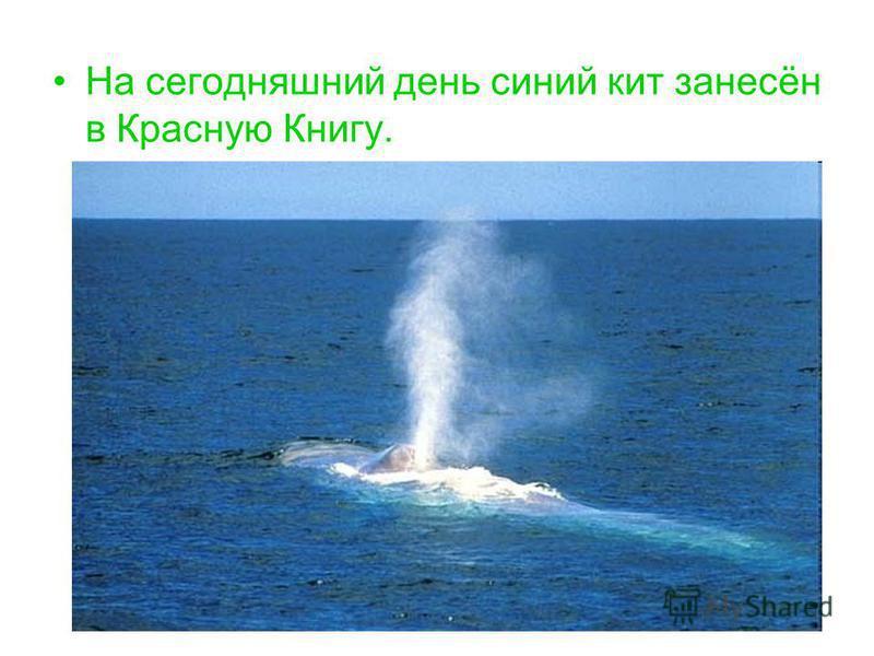 На сегодняшний день синий кит занесён в Красную Книгу.