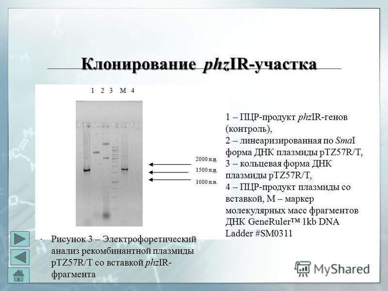 Клонирование phzIR-участка Клонирование phzIR-участка 1 – ПЦР-продукт phzIR-генов (контроль), 2 – линеаризированная по SmaI форма ДНК плазмиды pTZ57R/T, 3 – кольцевая форма ДНК плазмиды pTZ57R/T, 4 – ПЦР-продукт плазмиды со вставкой, М – маркер молек