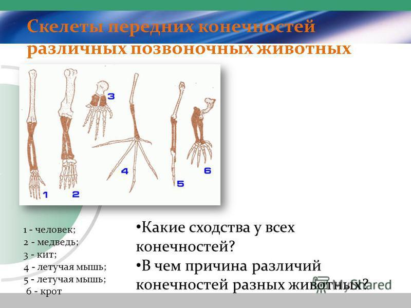 Скелеты передних конечностей различных позвоночных животных 1 - человек; 2 - медведь; 3 - кит; 4 - летучая мышь; 5 - летучая мышь; 6 - крот Какие сходства у всех конечностей? В чем причина различий конечностей разных животных?