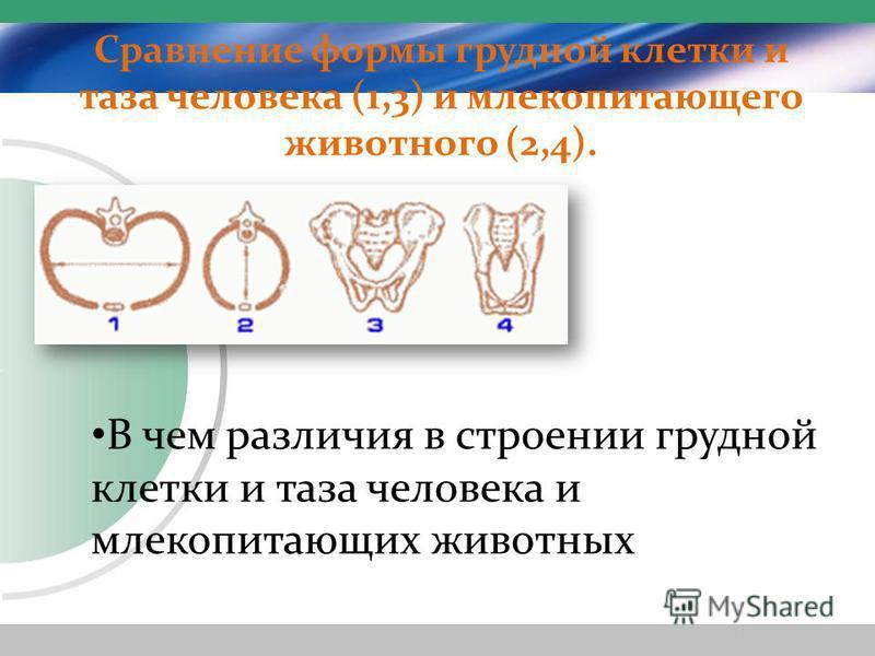 Сравнение формы грудной клетки и таза человека (1,3) и млекопитающего животного (2,4). В чем различия в строении грудной клетки и таза человека и млекопитающих животных