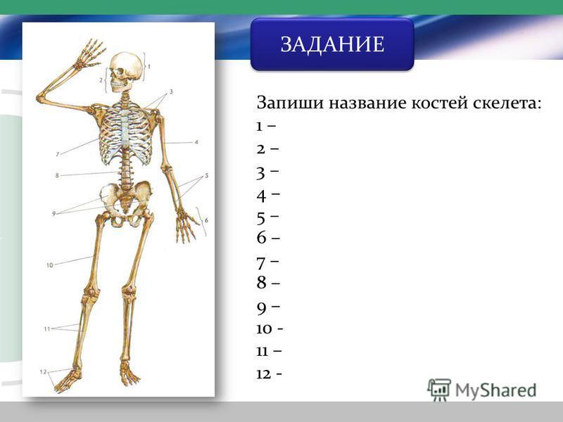 ЗАДАНИЕ Запиши название костей скелета: 1 – 2 – 3 – 4 – 5 – 6 – 7 – 8 – 9 – 10 - 11 – 12 -