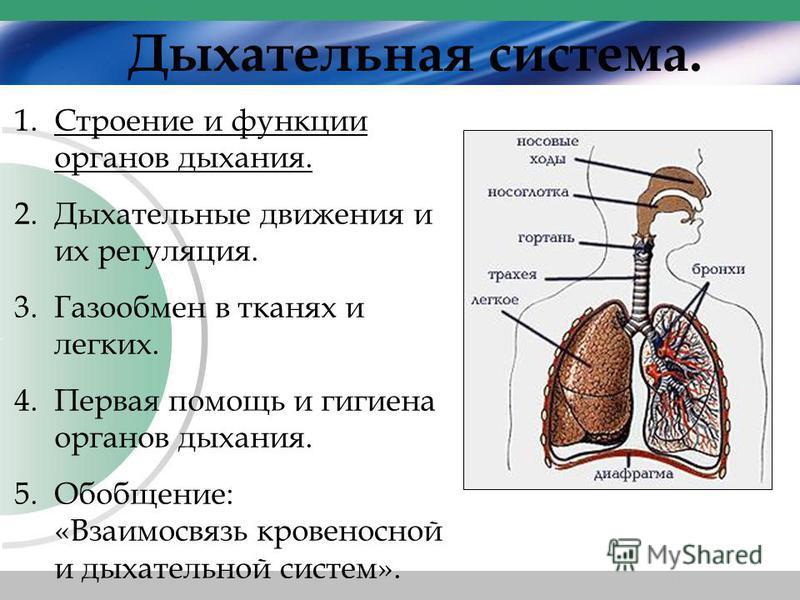 Дыхательная система. 1. Строение и функции органов дыхания. 2. Дыхательные движения и их регуляция. 3. Газообмен в тканях и легких. 4. Первая помощь и гигиена органов дыхания. 5.Обобщение: «Взаимосвязь кровеносной и дыхательной систем».