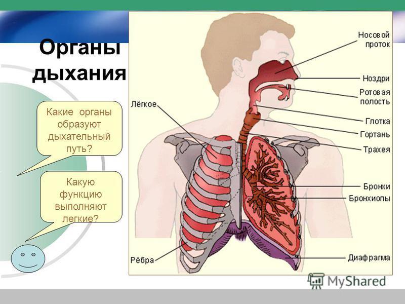 Какие органы образуют дыхательный путь? Органы дыхания Какую функцию выполняют легкие?