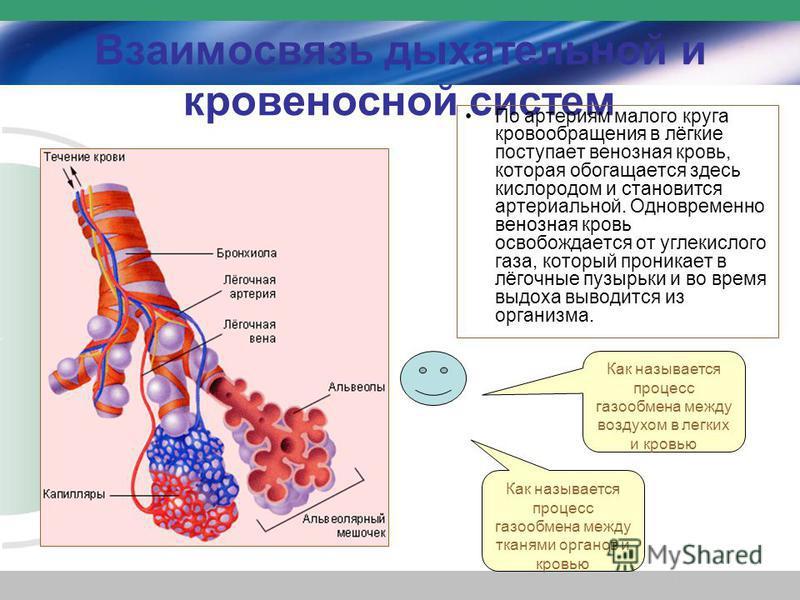 Взаимосвязь дыхательной и кровеносной систем По артериям малого круга кровообращения в лёгкие поступает венозная кровь, которая обогащается здесь кислородом и становится артериальной. Одновременно венозная кровь освобождается от углекислого газа, кот
