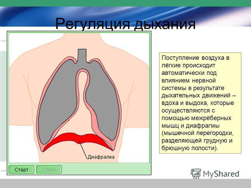 Регуляция дыхания Поступление воздуха в лёгкие происходит автоматически под влиянием нервной системы в результате дыхательных движений – вдоха и выдоха, которые осуществляются с помощью межрёберных мышц и диафрагмы (мышечной перегородки, разделяющей