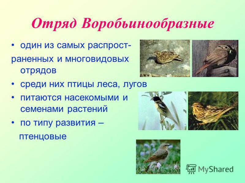 Отряд В оробьинообразные один из самых распространенных и многовидовых отрядов среди них птицы леса, лугов питаются насекомыми и семенами растений по типу развития – птенцовые
