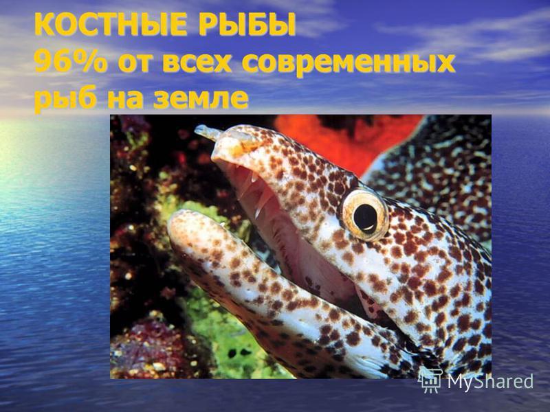 КОСТНЫЕ РЫБЫ 96% от всех современных рыб на земле