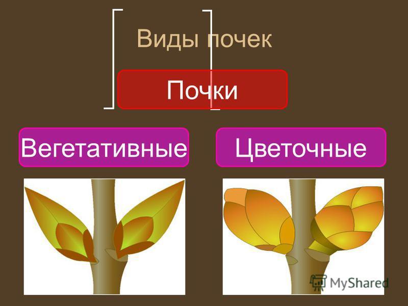 Виды почек Почки Вегетативные Цветочные