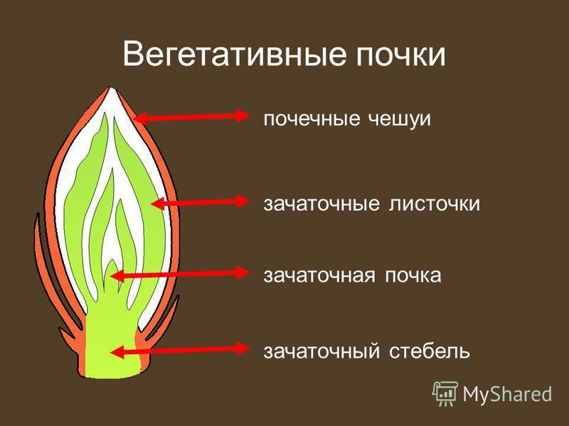 Вегетативные почки почечные чешуи зачаточные листочки зачаточный стебель зачаточная почка