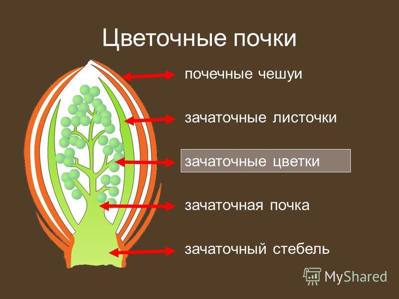 Цветочные почки зачаточные листочки почечные чешуи зачаточные цветки зачаточный стебель зачаточная почка