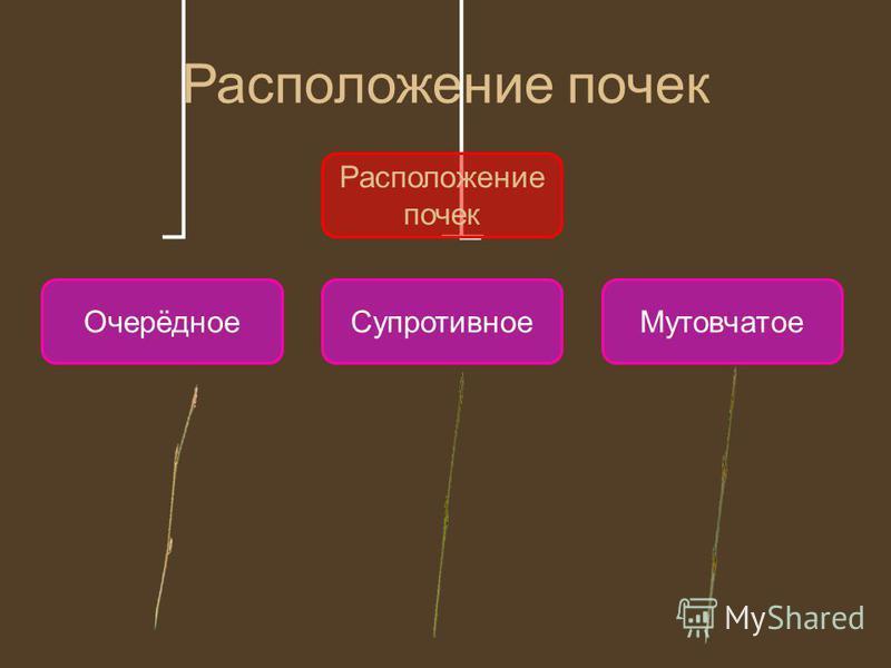 Расположение почек Очерёдное СупротивноеМутовчатое