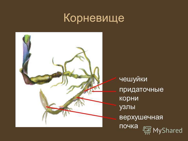 Корневище верхушечная почка узлы придаточные корни чешуйки