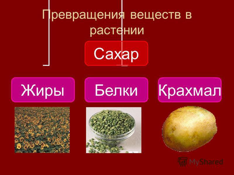 Превращения веществ в растении Сахар Жиры БелкиКрахмал