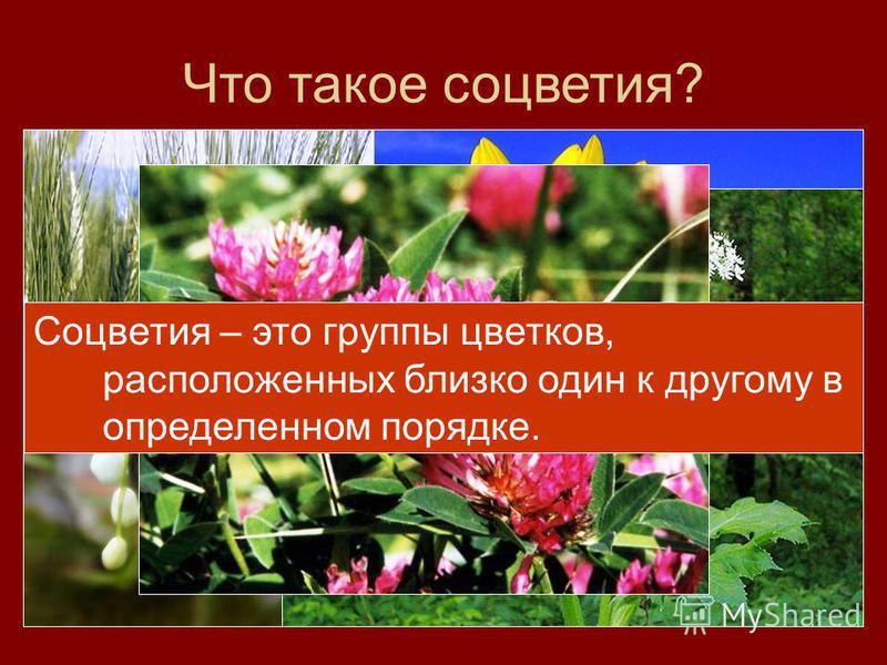Что такое соцветия? Соцветия – это группы цветков, расположенных близко один к другому в определенном порядке.