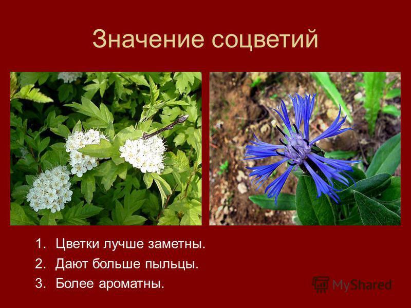 Значение соцветий 1. Цветки лучше заметны. 2. Дают больше пыльцы. 3. Более ароматны.