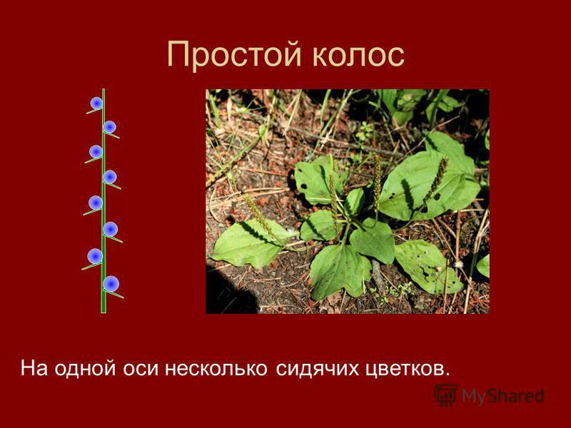 Простой колос На одной оси несколько сидячих цветков.