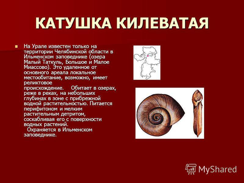 КАТУШКА КИЛЕВАТАЯ На Урале известен только на территории Челябинской области в Ильменском заповеднике (озера Малый Таткуль, Большое и Малое Миассово). Это удаленное от основного ареала локальное местообитание, возможно, имеет реликтовое происхождение