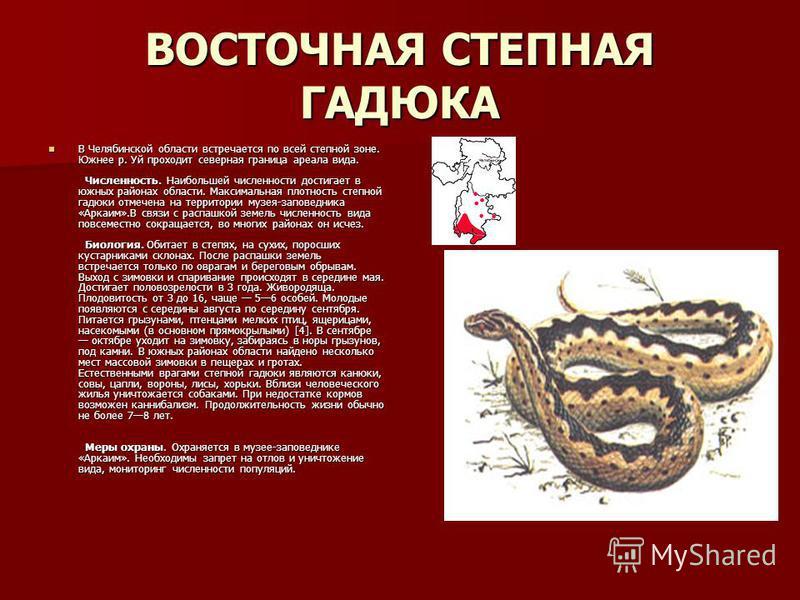 ВОСТОЧНАЯ СТЕПНАЯ ГАДЮКА В Челябинской области встречается по всей степной зоне. Южнее р. Уй проходит северная граница ареала вида. Численность. Наибольшей численности достигает в южных районах области. Максимальная плотность степной гадюки отмечена