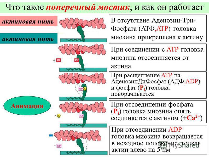 При соединении с АТР головка миозина отсоединяется от актина Что такое поперечный мостик, и как он работает актиновая нить В отсутствие Аденозин-Три- Фосфата (АТФ,ATP) головка миозина прикреплена к актину При расщепление АТР на Аденозин ДиФосфат (АДФ