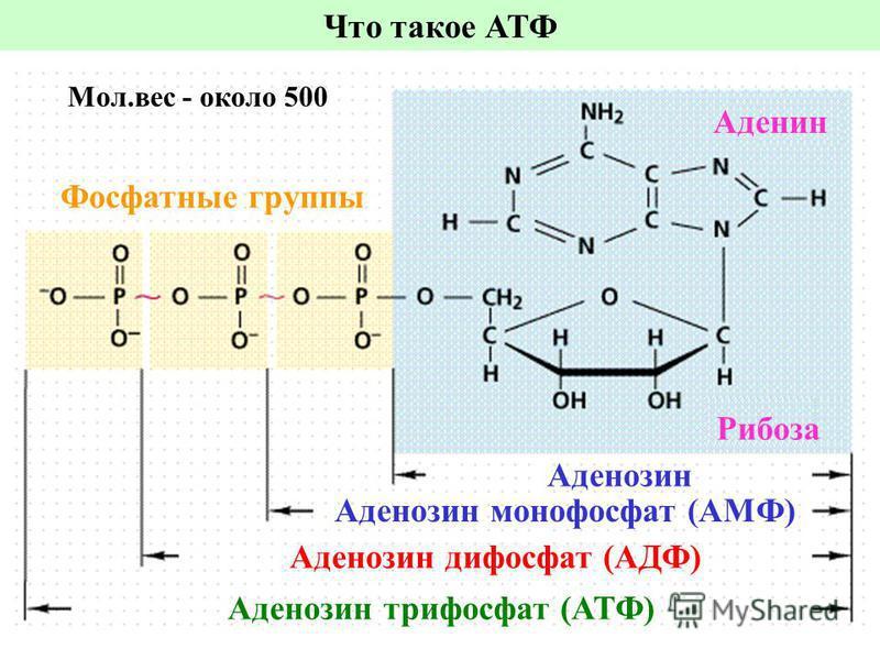 Что такое АТФ Аденозин трифосфат (АТФ) Аденозин дифосфат (АДФ) Аденозин монофосфат (АМФ) Аденозин Рибоза Аденин Фосфатные группы Мол.вес - около 500