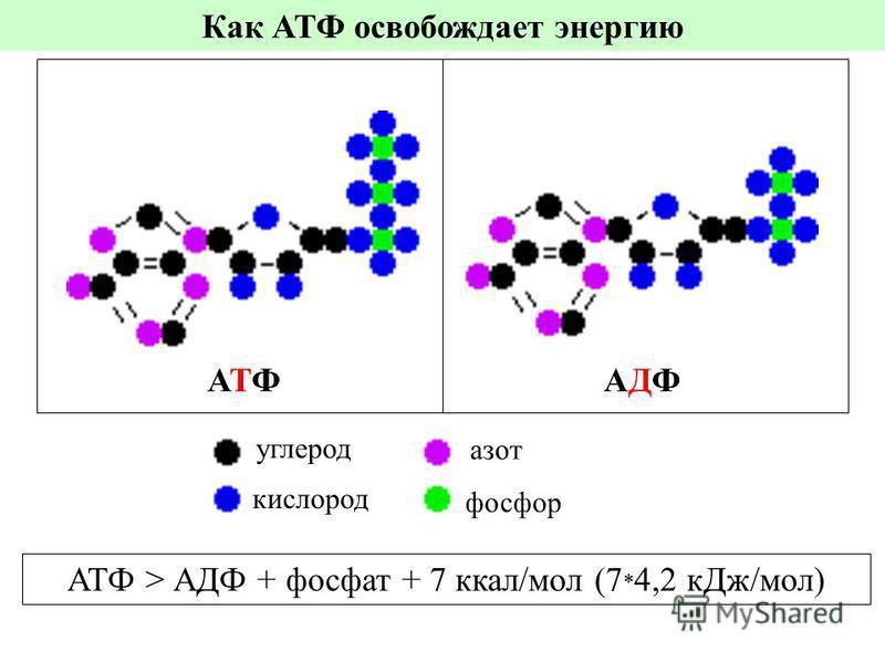 Как АТФ освобождает энергию АТФАТФАДФАДФ углерод фосфор азот кислород АТФ > АДФ + фосфат + 7 ккал/мол (7 * 4,2 к Дж/мол)
