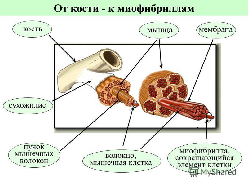 сухожилие мышца пучок мышечных волокон волокно, мышечная клетка миофибрилла, сокращающийся элемент клетки кость мембрана От кости - к миофибриллам