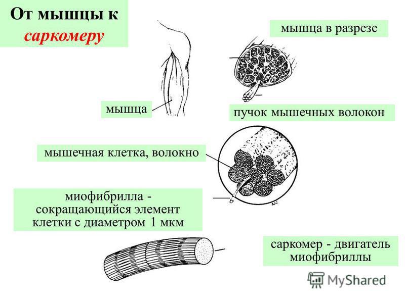 мышца мышечная клетка, волокно миофибрилла - сокращающийся элемент клетки с диаметром 1 мкм саркомер - двигатель миофибриллы пучок мышечных волокон мышца в разрезе От мышцы к саркомеру