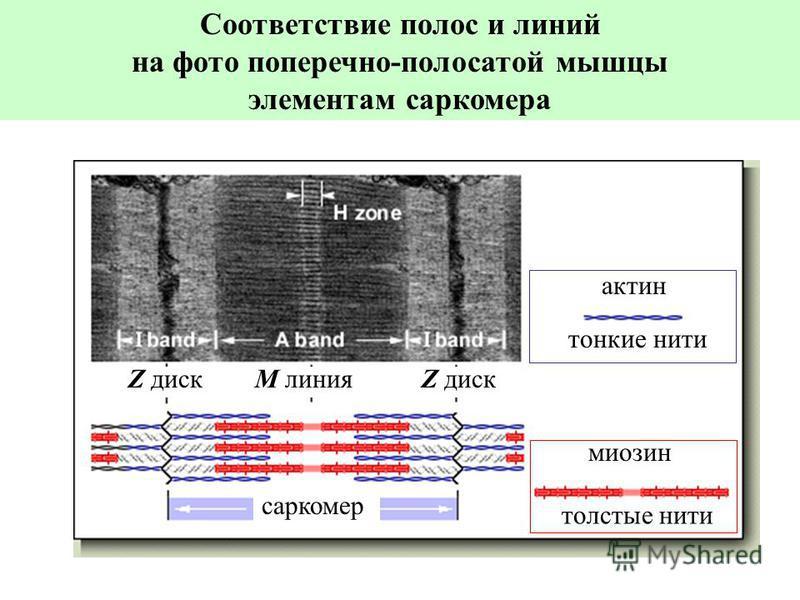 тонкие нити толстые нити саркомер Z диск M линия актин миозин Соответствие полос и линий на фото поперечно-полосатой мышцы элементам саркомера