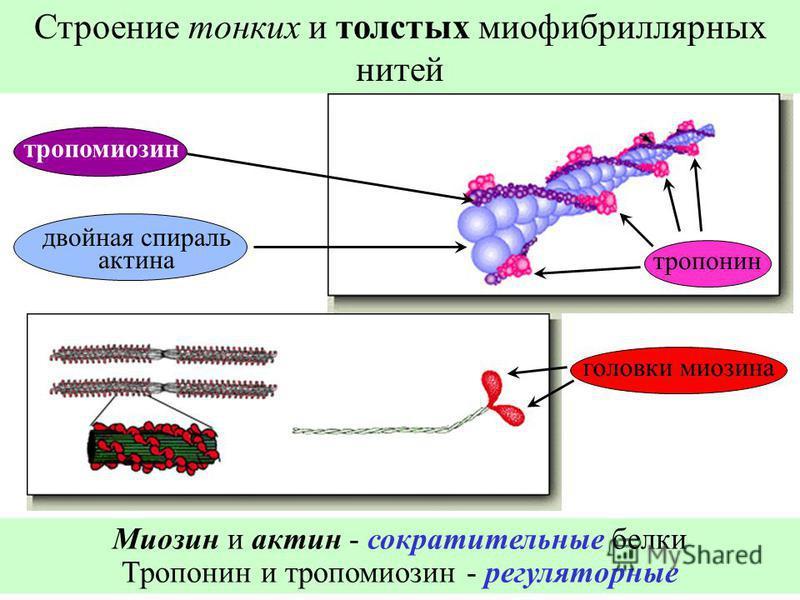 Строение тонких и толстых миофибриллярных нитей двойная спираль актина тропомиозин тропонин головки миозина Миозин и актин - сократительные белки Тропонин и тропомиозин - регуляторные