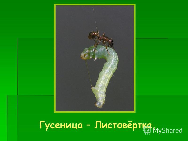 Гусеница – Листовёртка.
