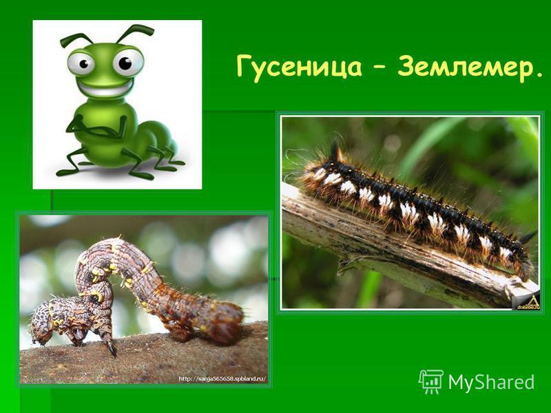 Гусеница – Землемер.
