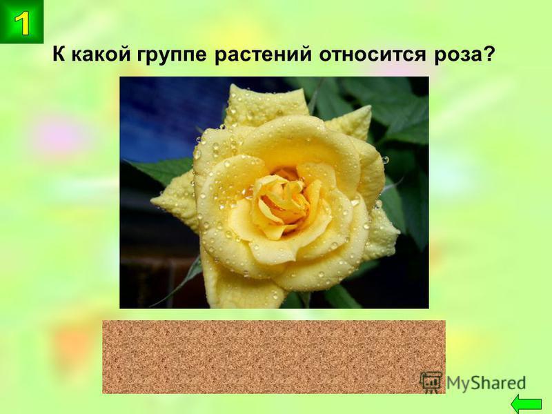 К какой группе растений относится роза? цветковые