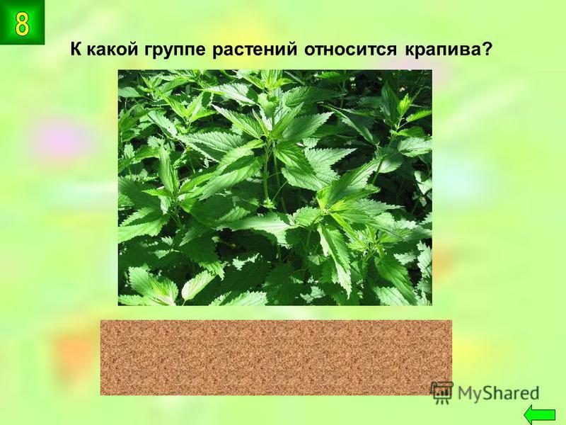 К какой группе растений относится крапива? цветковые