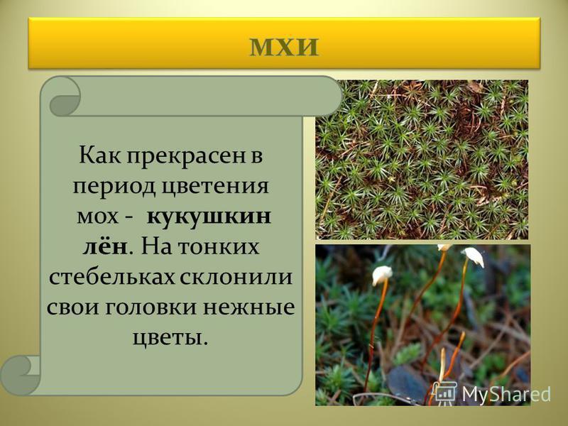 Как прекрасен в период цветения мох - кукушкин лён. На тонких стебельках склонили свои головки нежные цветы.