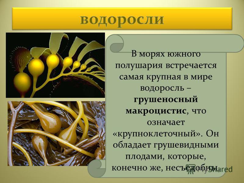 В морях южного полушария встречается самая крупная в мире водоросль – грушеносный макроцистис, что означает «крупноклеточный». Он обладает грушевидными плодами, которые, конечно же, несъедобны.