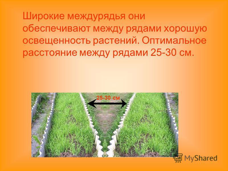 Широкие междурядья они обеспечивают между рядами хорошую освещенность растений. Оптимальное расстояние между рядами 25-30 см. 25-30 см