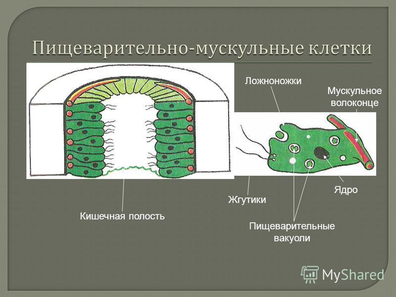 Кишечная полость Жгутики Ложноножки Пищеварительные вакуоли Мускульное волоконце Ядро