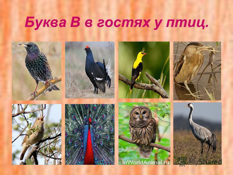 Буква В в гостях у птиц.