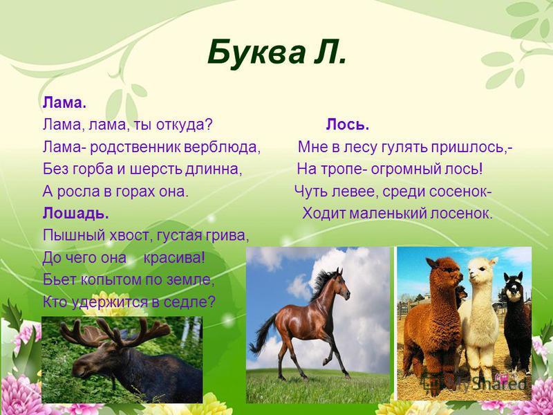 Буква Л. Лама. Лама, лама, ты откуда? Лось. Лама- родственник верблюда, Мне в лесу гулять пришлось,- Без горба и шерсть длинна, На тропе- огромный лось! А росла в горах она. Чуть левее, среди сосенок- Лошадь. Ходит маленький лосенок. Пышный хвост, гу