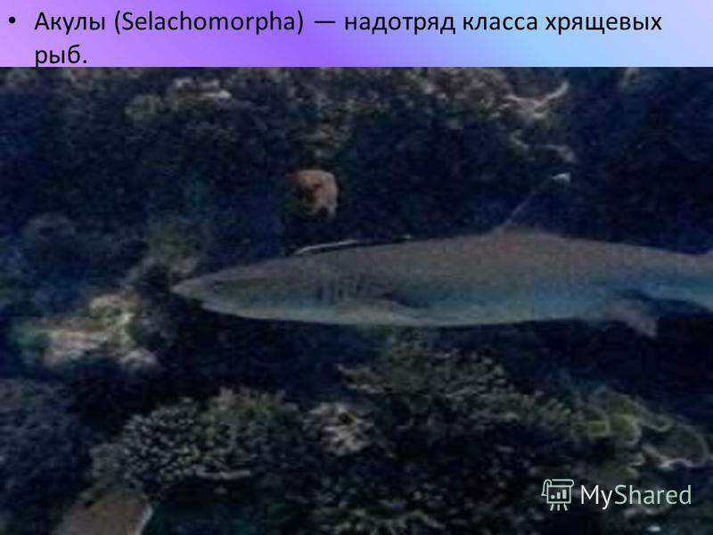 Акулы (Selachomorpha) надотряд класса хрящевых рыб.