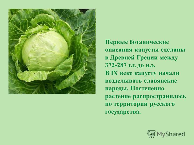 Первые ботанические описания капусты сделаны в Древней Греции между 372-287 г.г. до н.э. В IX веке капусту начали возделывать славянские народы. Постепенно растение распространилось по территории русского государства.