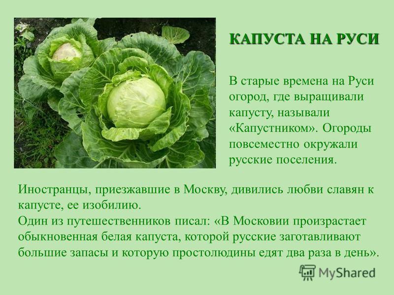 Иностранцы, приезжавшие в Москву, дивились любви славян к капусте, ее изобилию. Один из путешественников писал: «В Московии произрастает обыкновенная белая капуста, которой русские заготавливают большие запасы и которую простолюдины едят два раза в д