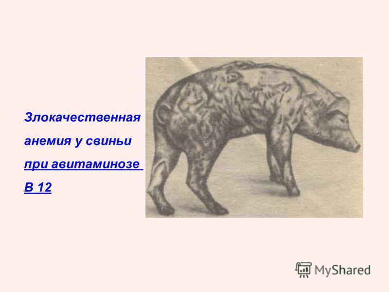 Злокачественная анемия у свиньи при авитаминозе В 12