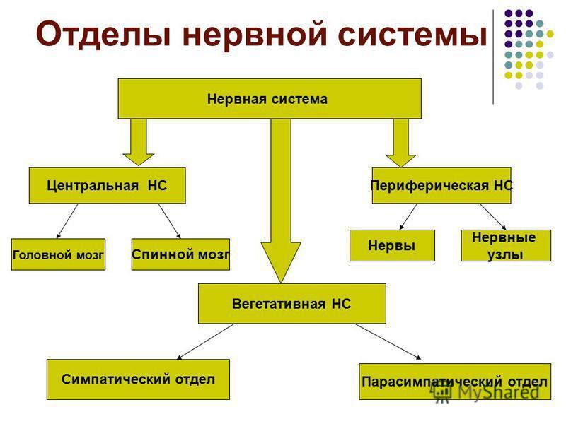 Отделы нервной системы Нервная система Центральная НСПериферическая НС Вегетативная НС Головной мозг Спинной мозг Нервы Нервные узлы Симпатический отдел Парасимпатический отдел
