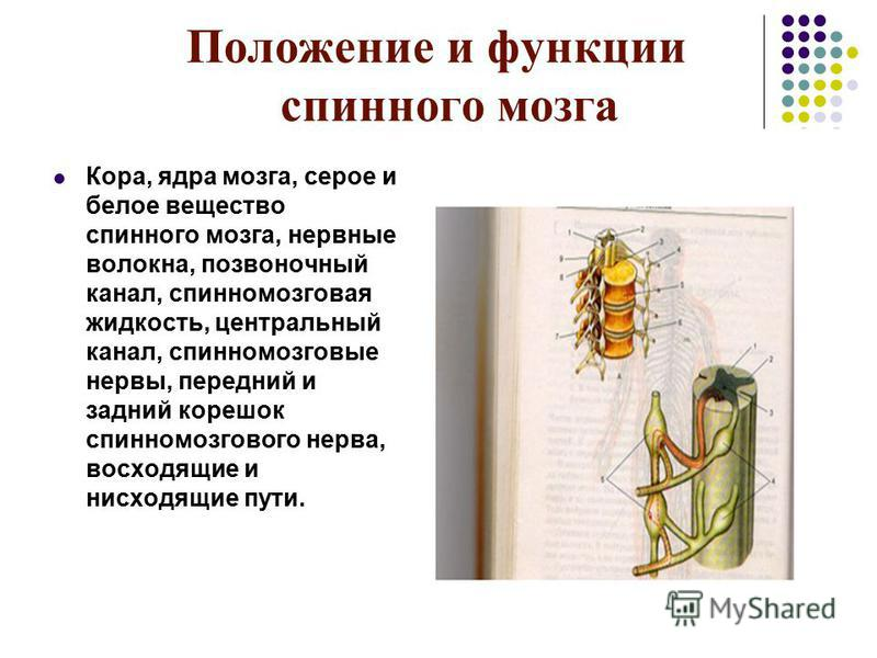 Положение и функции спинного мозга Кора, ядра мозга, серое и белое вещество спинного мозга, нервные волокна, позвоночный канал, спинномозговая жидкость, центральный канал, спинномозговые нервы, передний и задний корешок спинномозгового нерва, восходя