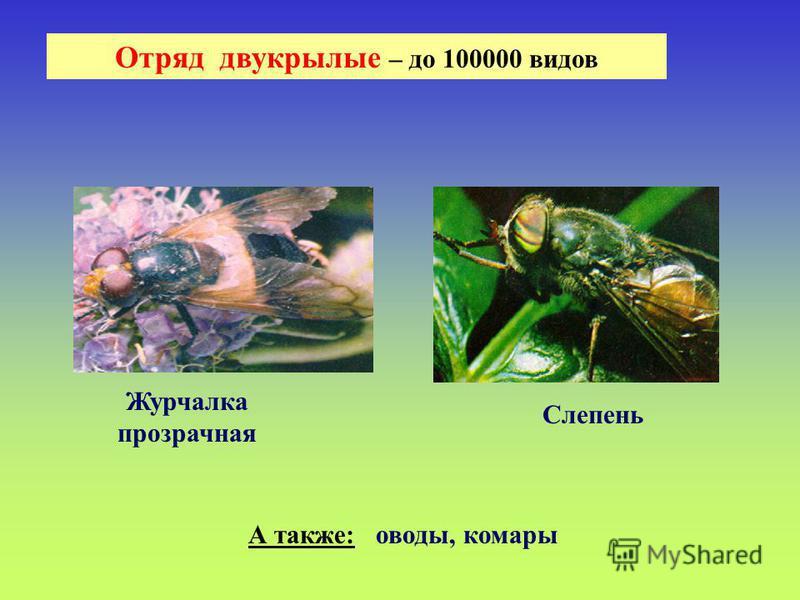 Отряд двукрылые – до 100000 видов Журчалка прозрачная Слепень А также: оводы, комары