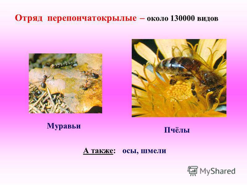 Отряд перепончатокрылые – около 130000 видов Муравьи Пчёлы А также: осы, шмели